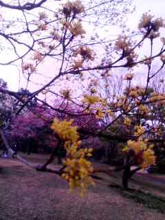 100305_1602~001 サンシュユの黄色&梅