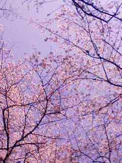 100403_1443~001  sakura sky