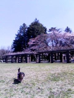 100408_1025~001 桜バックに走るワン