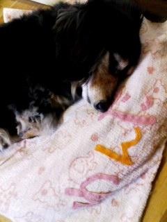 100408_1348~001 お花見モデル犬お疲れチャンデス