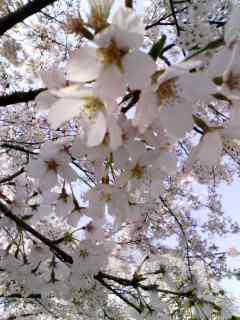 100408_1041~001 桜花アップ