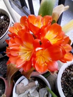 100424_1802~002 2年ぶりに咲いたクンシラン