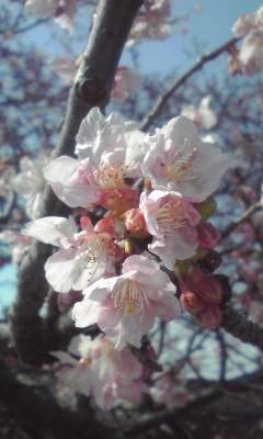 浮島桜花0222