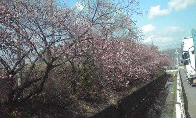 浮島桜全景0222