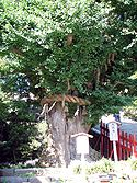 125px-Giant_Ginkgo_in_Tsurugaoka_Hachiman_Shrine.jpg