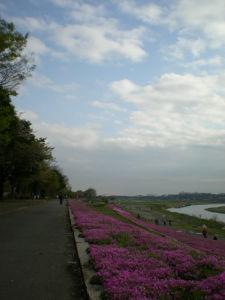 20100417相模川芝桜まつり05