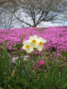 20100417相模川芝桜まつり04