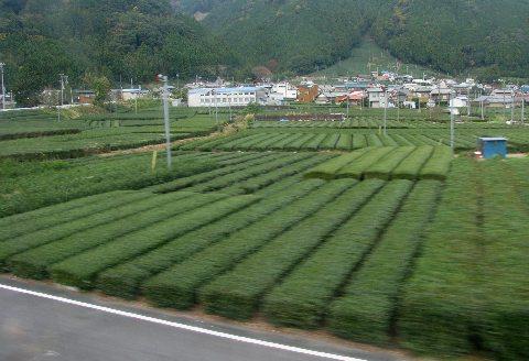 大井川鐵道から見る茶畑