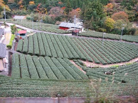 井川線から見える茶畑