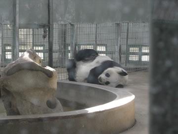 天津で唯一(?)のパンダ