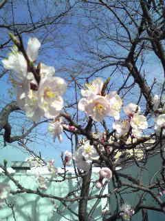 sakura。