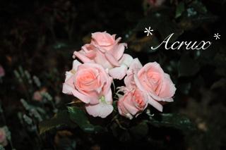 midnight_rose1.jpg
