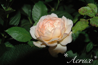 midnight_rose2.jpg