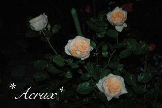 midnight_rose3.jpg