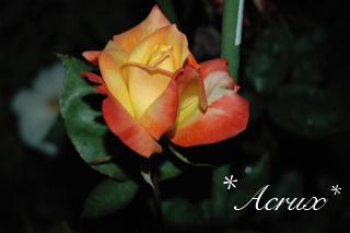 midnight_rose4.jpg