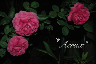 midnight_rose5.jpg