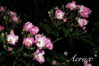 midnight_rose6.jpg