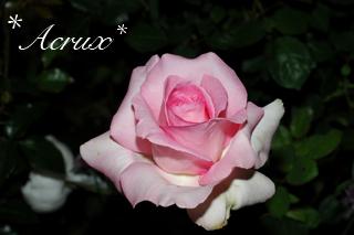 midnight_rose7.jpg