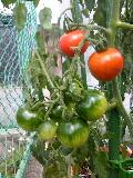 ミニ菜園 赤いミニトマト