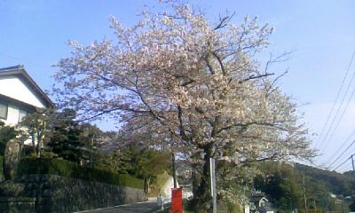 iimori_sakura02.jpg