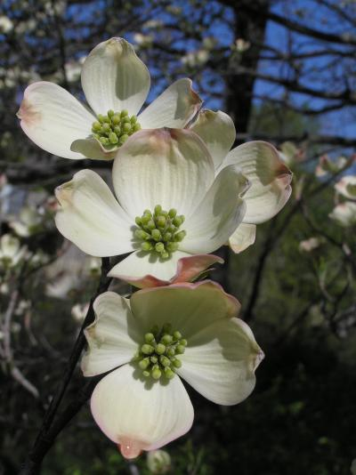 Dogwood, Flowering, Flower4_convert_20100407122116