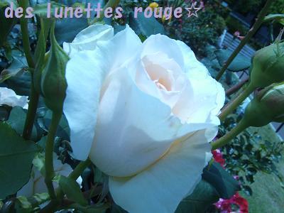 白いバラ(電球Vr.)