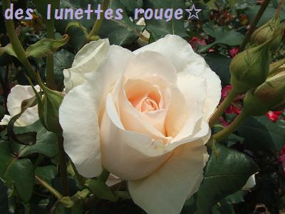白いバラ(ナチュラルVr.)