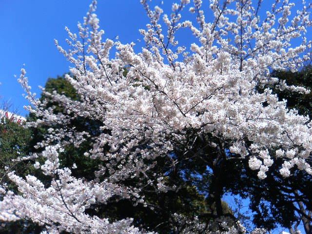 スタジアムの桜060403