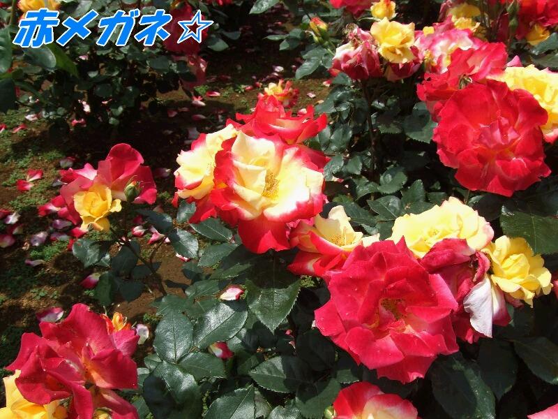 赤×黄色のバラ