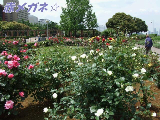 バラ:山下公園