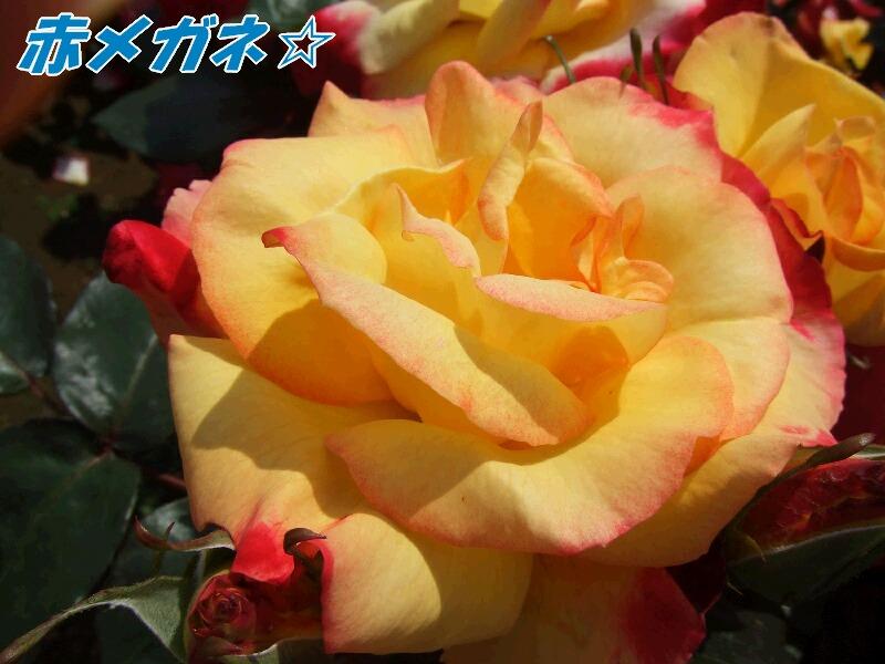 赤い縁の黄色いバラ