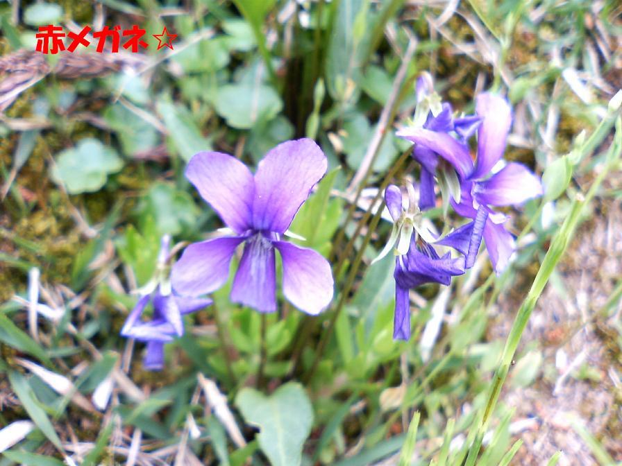 紫の小花:新潟