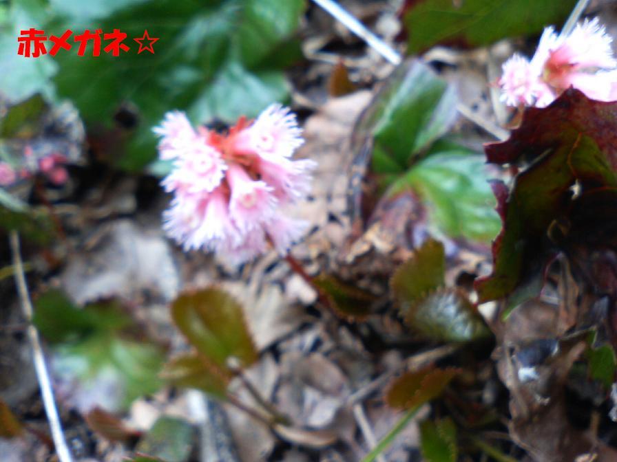 ピンクのイガイガ:新潟