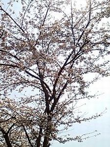 桜 2010/3/20