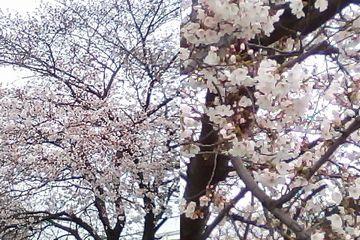 桜 2010/3/31