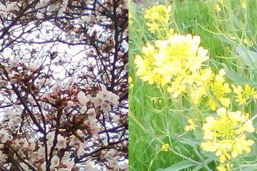 桜と菜の花 2010/3/31