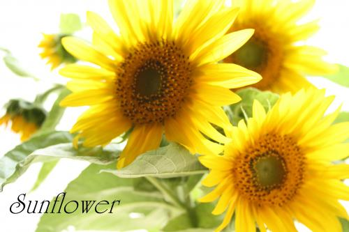 sunflower2_convert_20100728211257.jpg