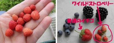 701wildstrawberry1.jpg