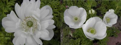 anemone410.jpg