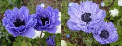 anemone41.jpg
