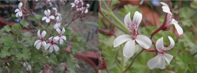 geranium411.jpg