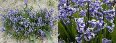 hyacinth41.jpg