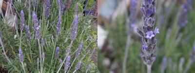 lavender41.jpg