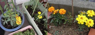 marigold51-1.jpg