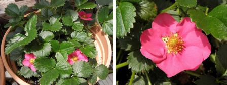 strawberry508.jpg