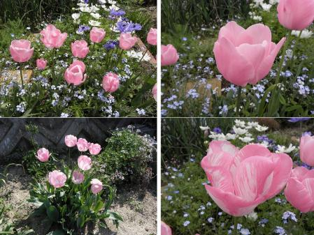 tulip508.jpg