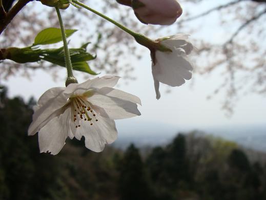 041sakura.jpg