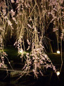 しだれ桜07-04