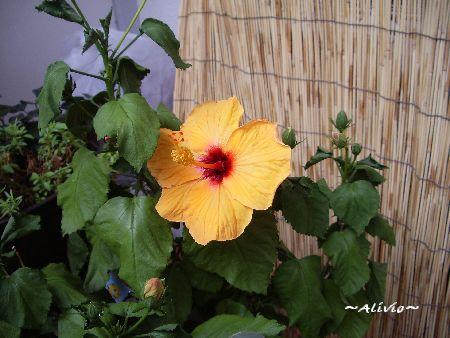 080828ハイビ開花
