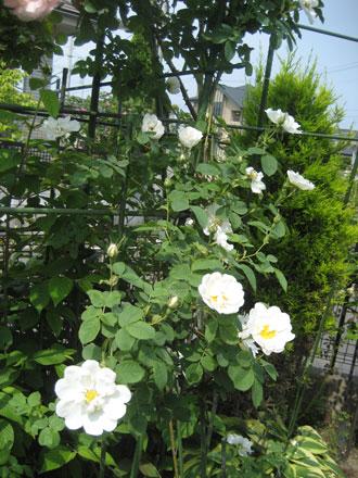 アルバセミプレナの花